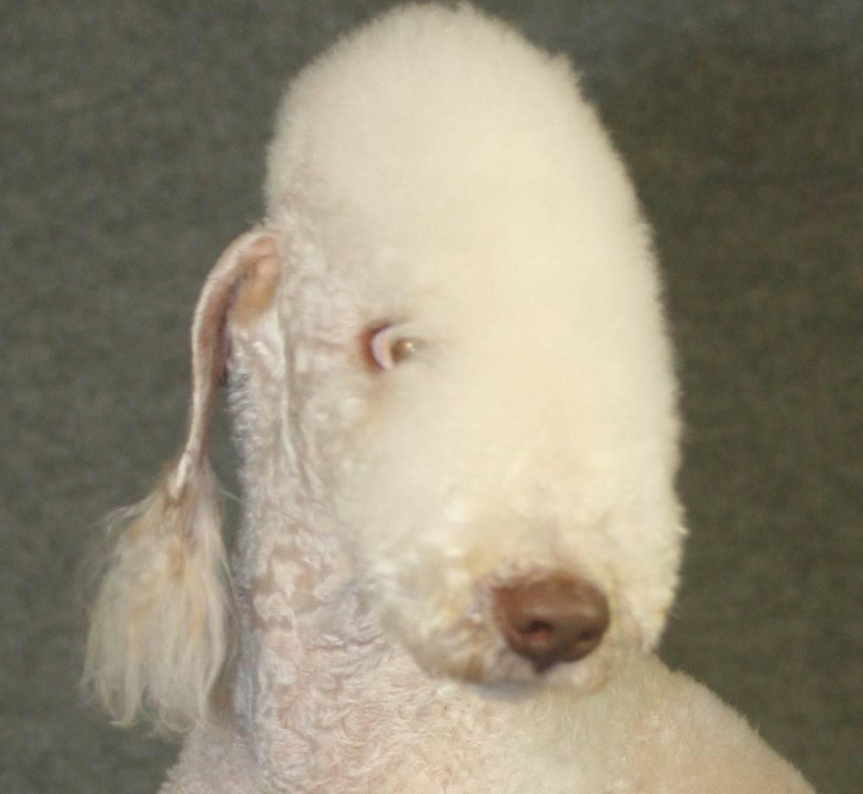 Trimming Bedlington Terrier Honeymist Bedlingtons